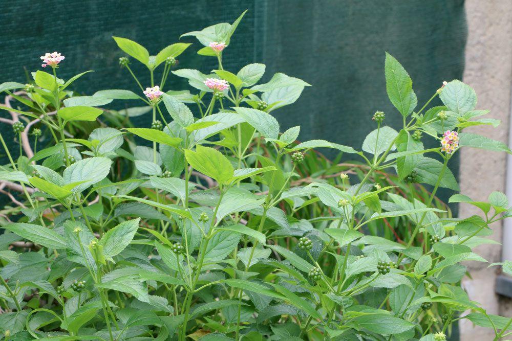 Wandelröschen mit stark giftigen Beeren