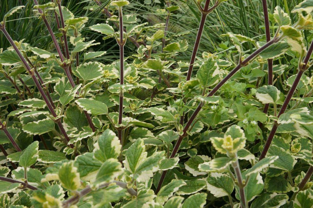 Weihrauchpflanze stammt aus Indien und Afrika