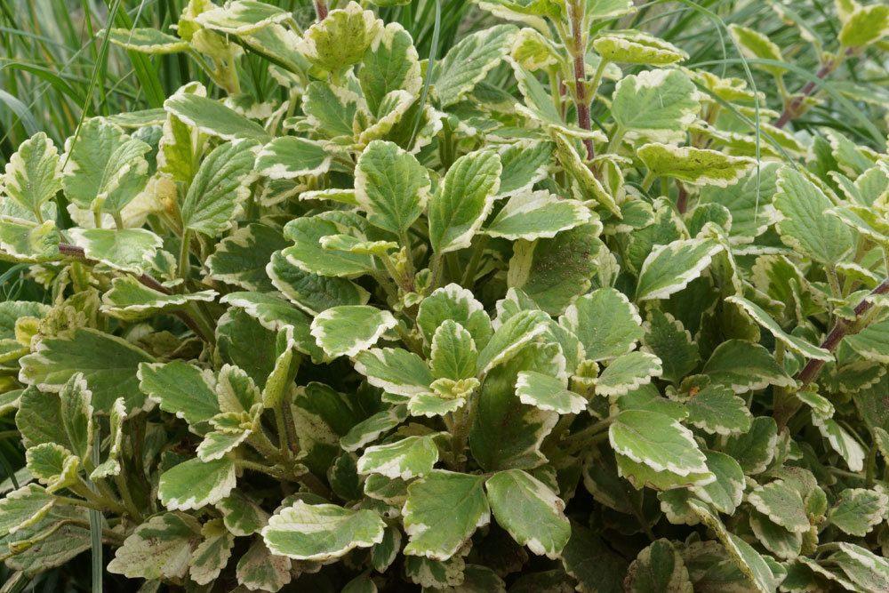 Weihrauchpflanze, Mottenkönig, Plectranthus coleoides