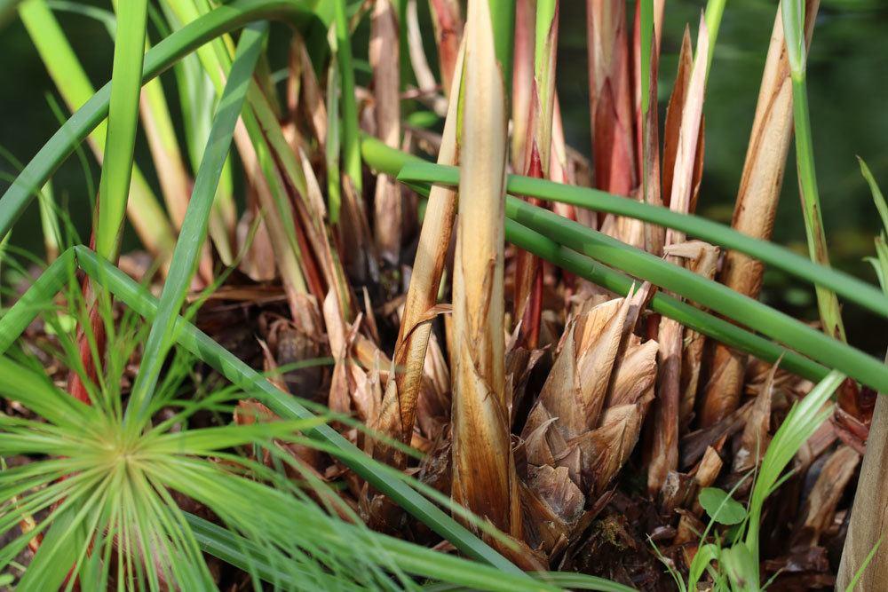 Echter Papyrus wächst bis zu 3 Meter hoch