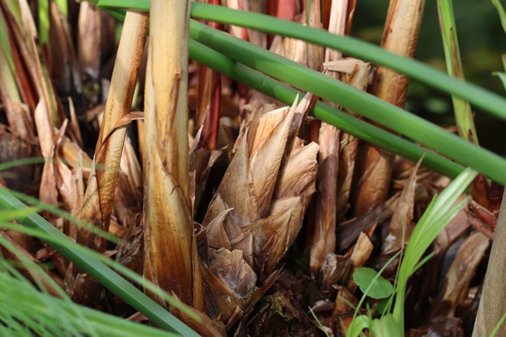 Echter Papyrus ist zur Uferbepflanzung geeignet