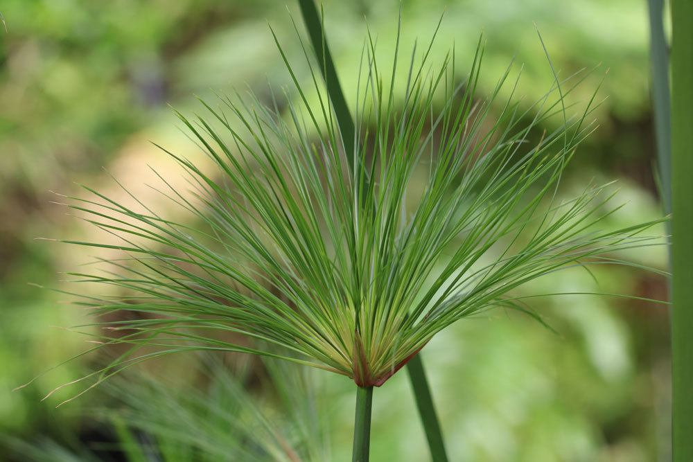 Echter Papyrus, Cyperus papyrus