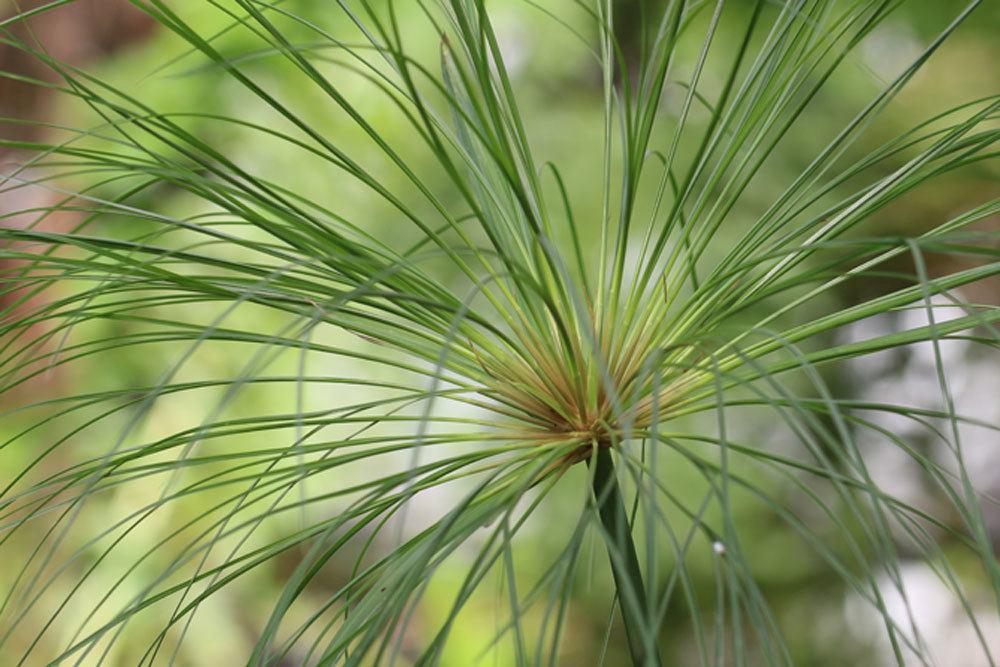 Echter Papyrus, Cyperus papyrus ist eine dekorative Pflanze