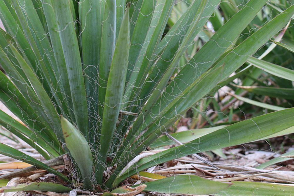Garten-Yucca, Yucca filamentosa wächst bis zu 300 Zentimeter hoch