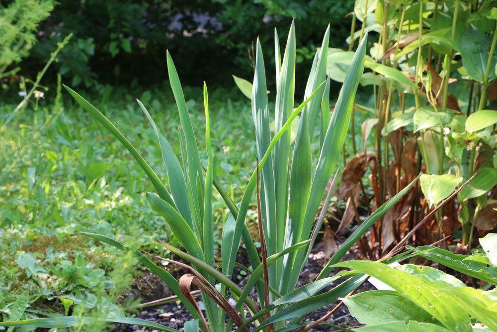 Fädige Palmlilie, Garten-Yucca, Yucca filamentosa