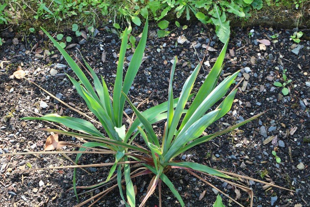 Garten-Yucca im Gartenbeet