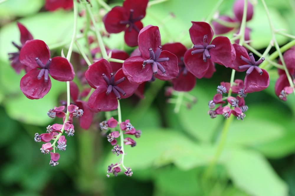 Fingerblättrige Akebie ist eine schöne Kletterpflanze