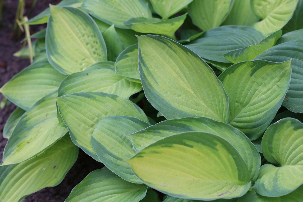 Gelbgrüne Funkie mit spitz zulaufenden goldgelben Blättern mit grünem Rand