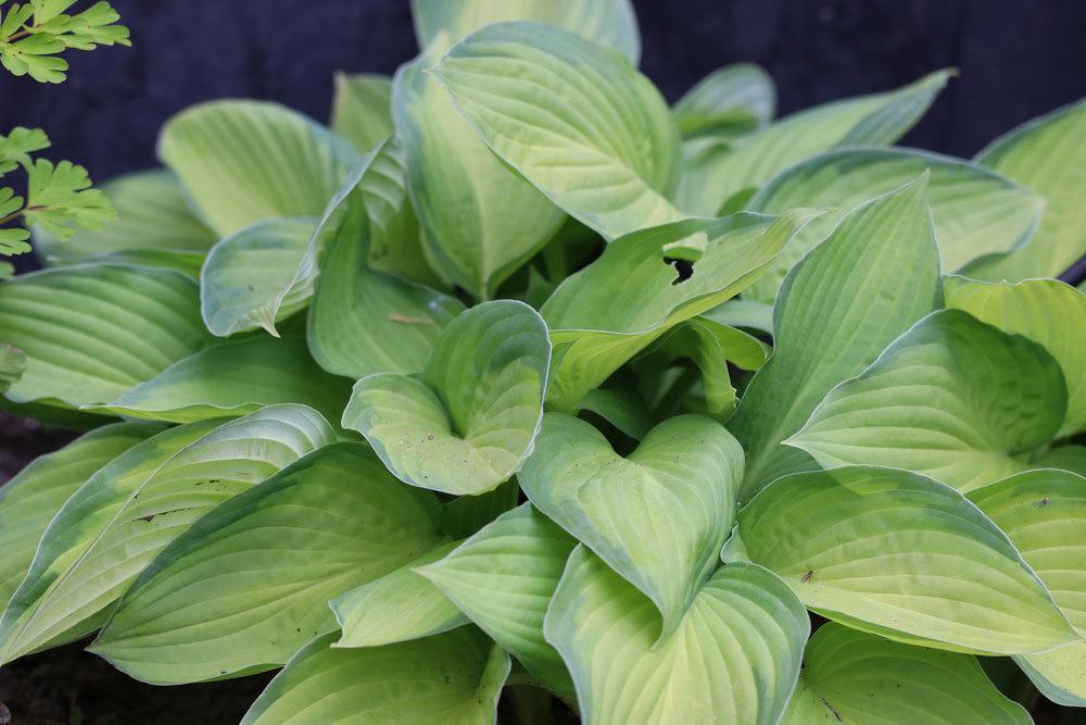 Gelbgrüne Funkie 'Gold Standard' wächst ausladend und bildet Horste