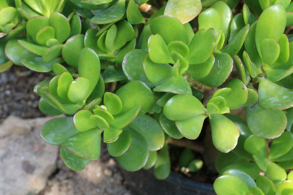 Geldbaum, Crassula ovata mit seinen leuchtend grünen Blättern