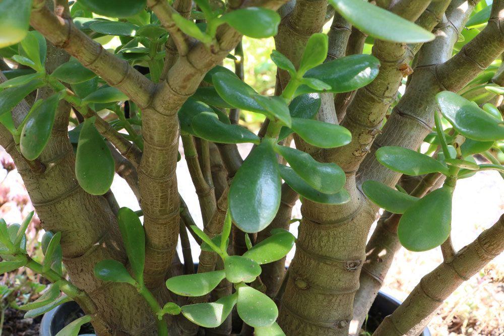 Geldbaum gehört zu den Dickblattgewächsen