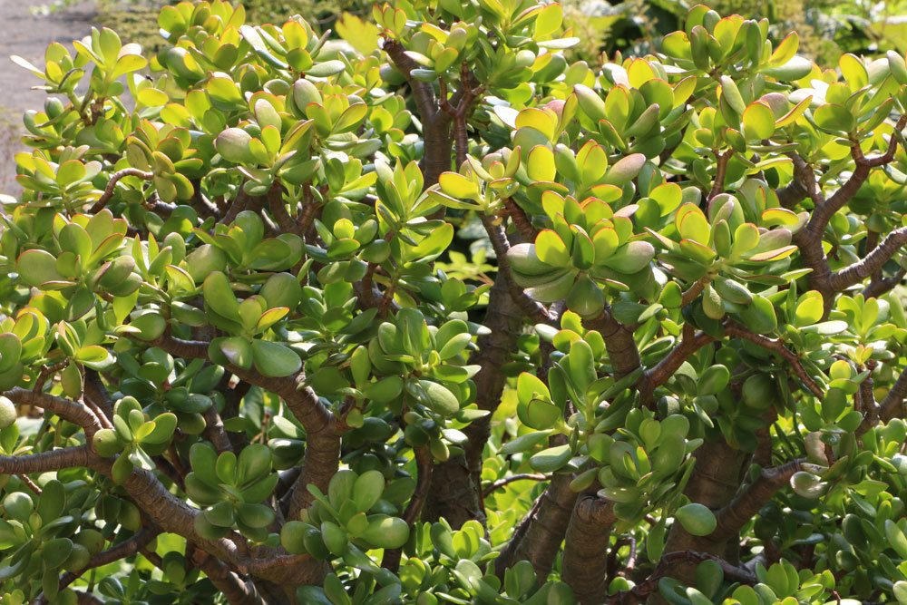 Crassula ovata mag einen sonnigen und warmen Standort