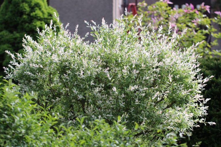 Harlekinweide, Zierweide 'Hakuro Nishiki', Salix integra