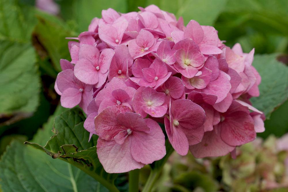 Hortensie mit leicht braunen Blattspitzen