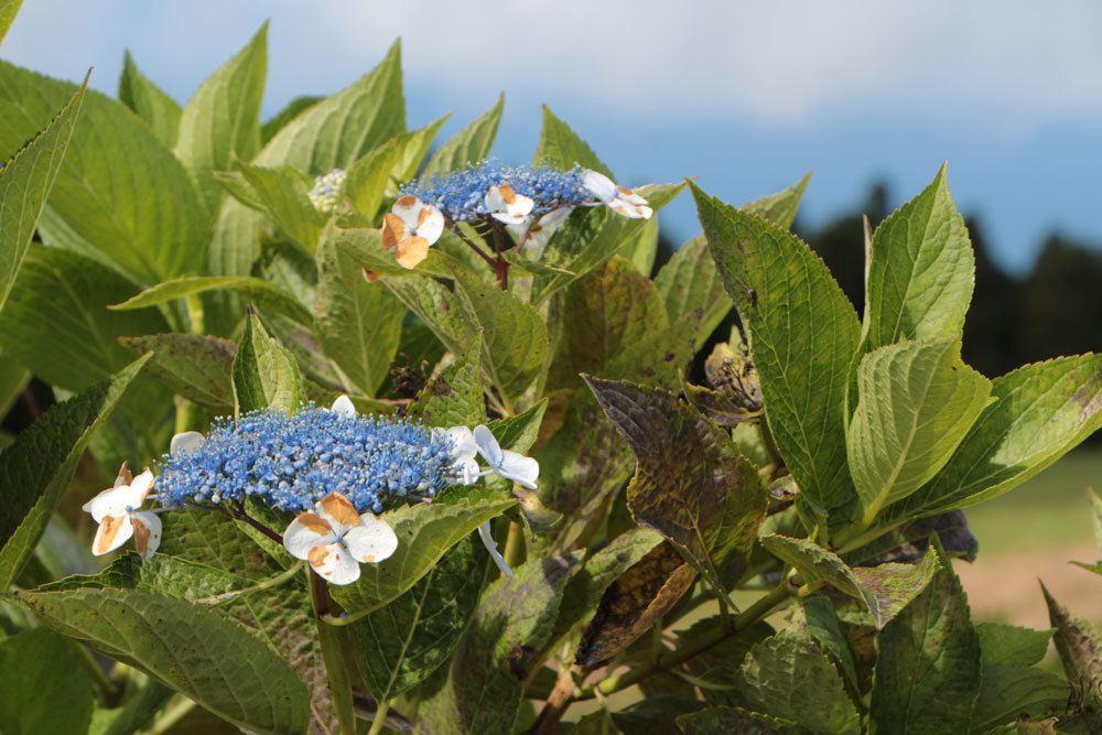 Hortensie mit braun gefleckten Blättern
