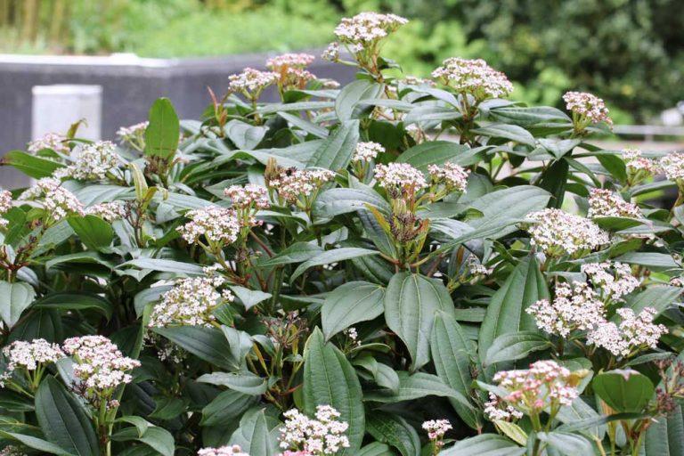 Immergrüner Kissen-Schneeball, Viburnum davidii