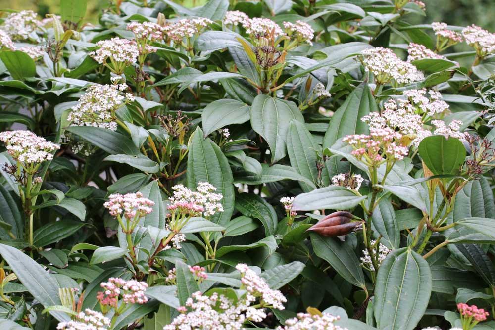 Immergrüner Kissen-Schneeball blüht von Mai bis Juni