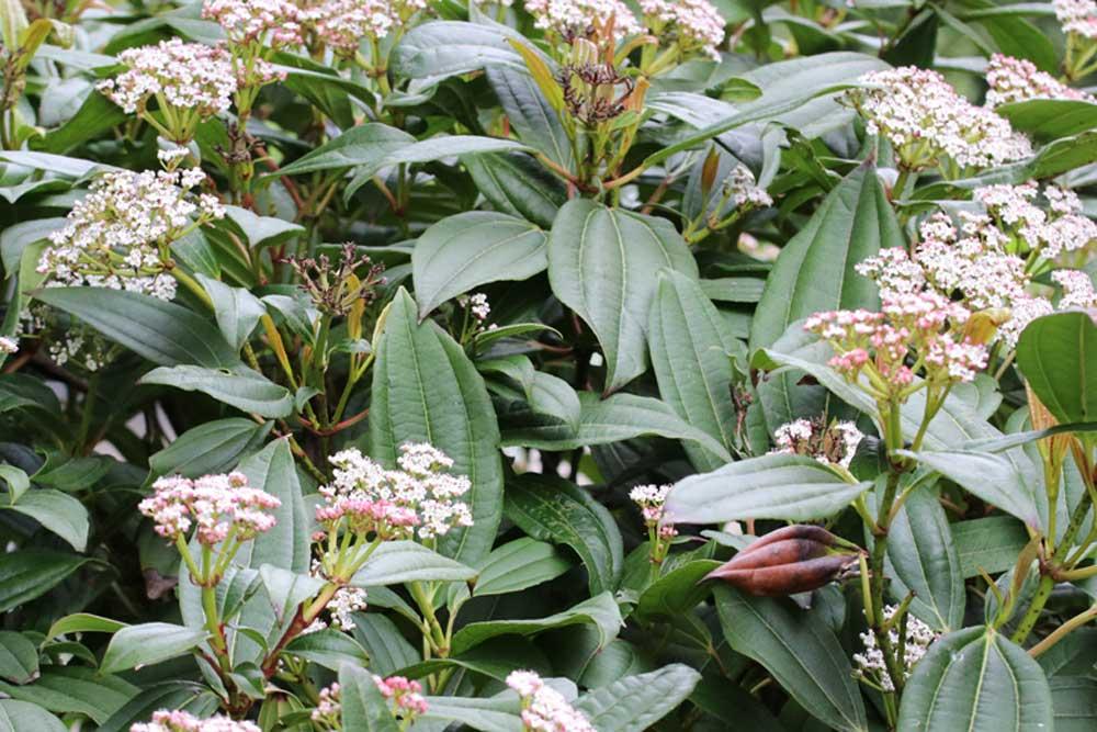 Viburnum davidii braucht einen absonnigen bis halbschattigen Standort