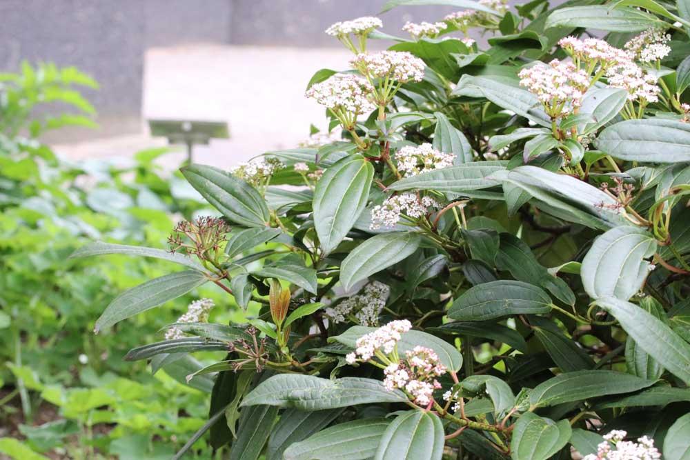 Immergrüner Kissen-Schneeball wächst bis zu 80 Zentimeter hoch