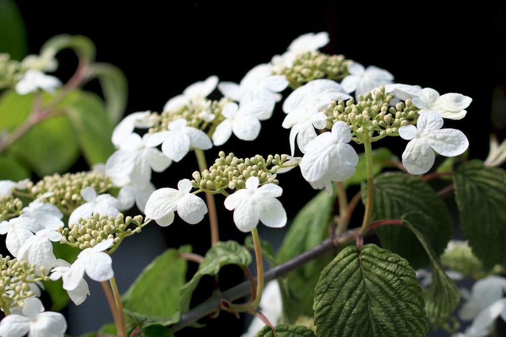 Japanischer Schneeball, Viburnum plicatum 'Mariesii' mit seinen kleinen weißen Blüten