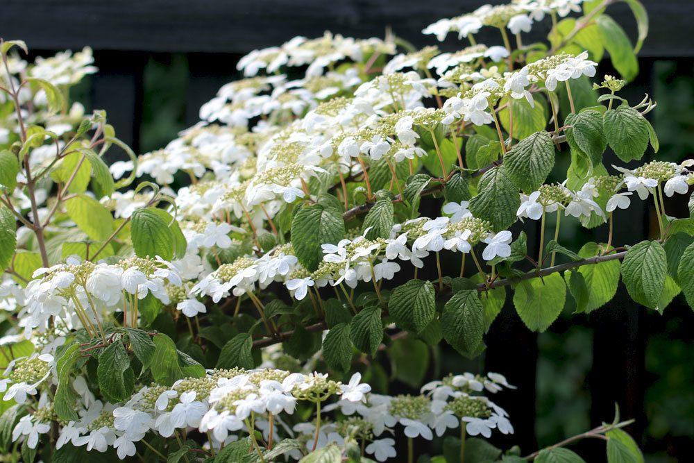 Viburnum plicatum 'Mariesii' Strauch mit einem weißen Blütenmeer