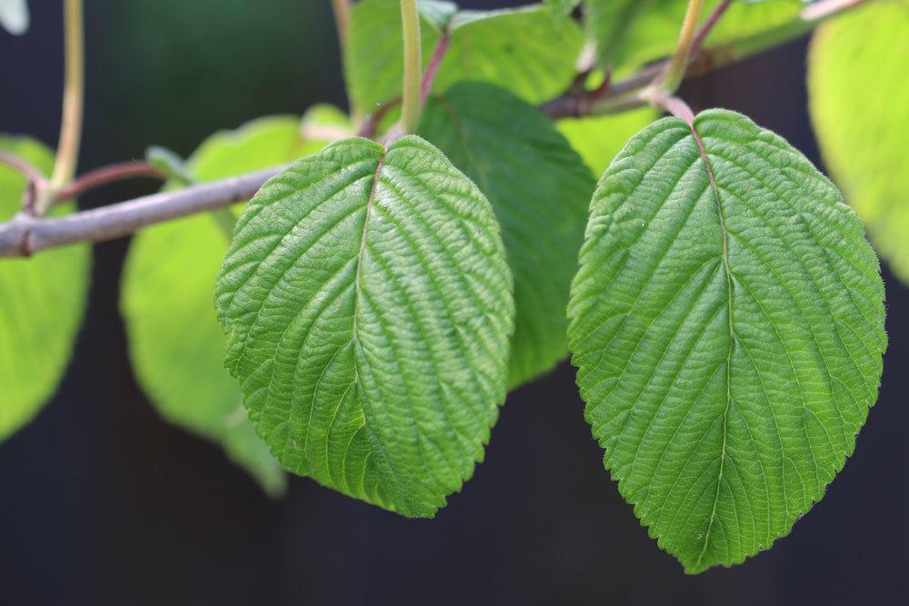 Japanischer Schneeball mit elliptischen, dunkelgrünen Blättern