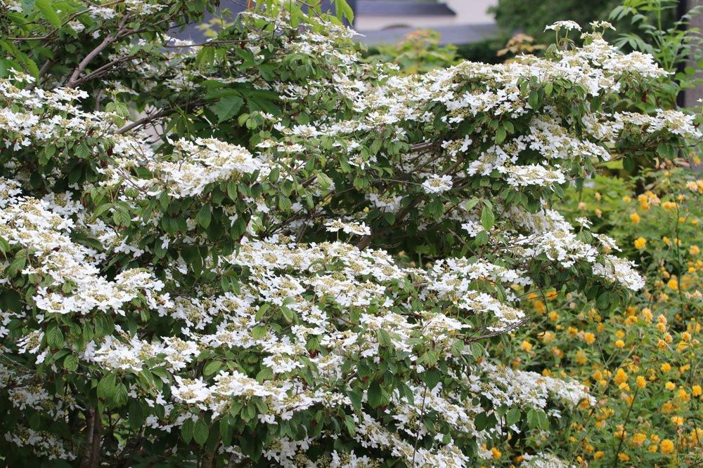 japanischer schneeball viburnum plicatum 39 mariesii 39 alle sorten und pflege. Black Bedroom Furniture Sets. Home Design Ideas