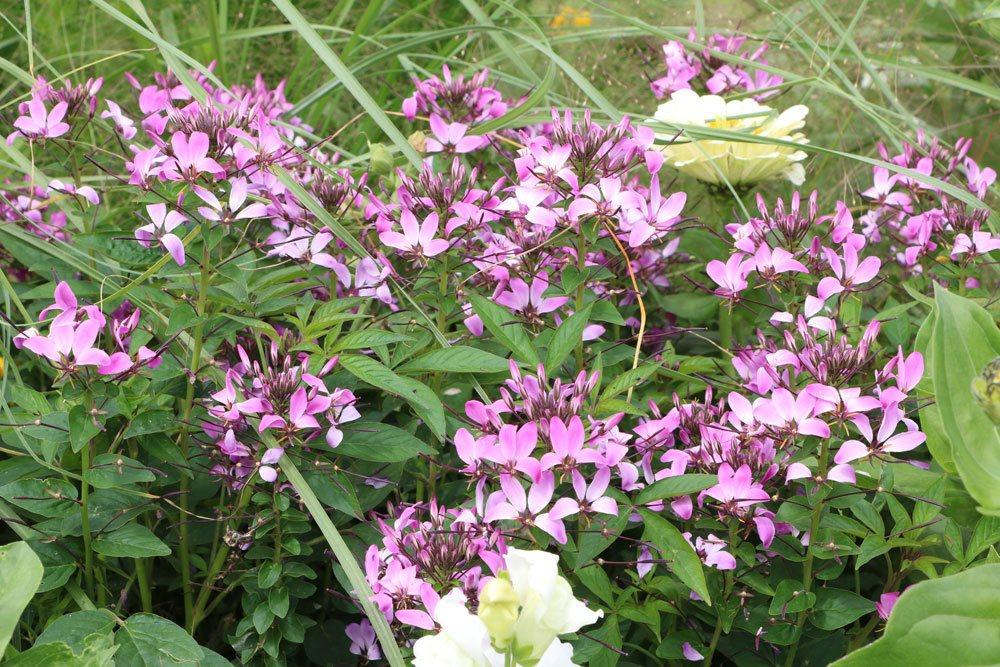 Prachtkerze mit ihren weiß-rosa Blüten