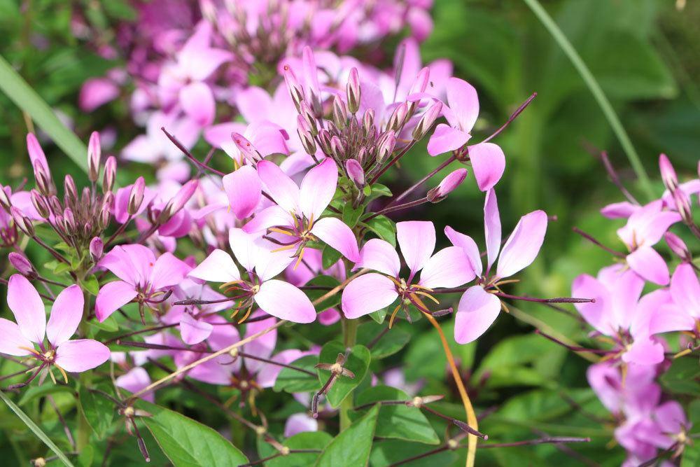 Prachtkerze mit ihren vielen kleinen und zarten Blüten