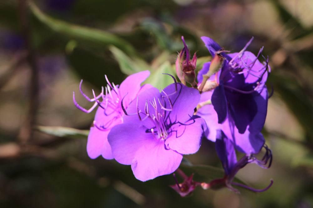 Prinzessinnenblume, Tibouchina urvilleana mit seinen filigranen, violetten Blüten