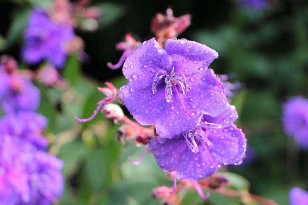 Prinzessinnenblume mit violetten Blüten