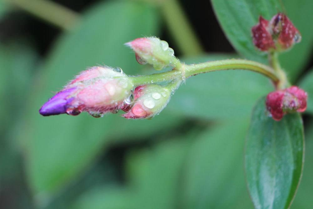 Prinzessinnenblume, Tibouchina urvilleana mit Blütenknospen