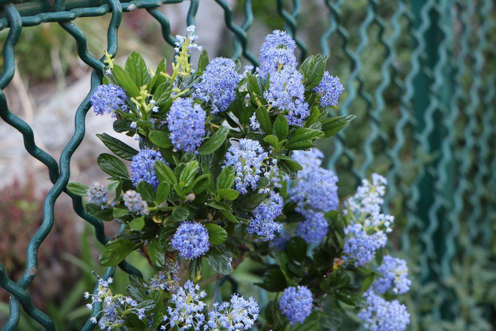 Säckelblume mit blauen Blütenständen