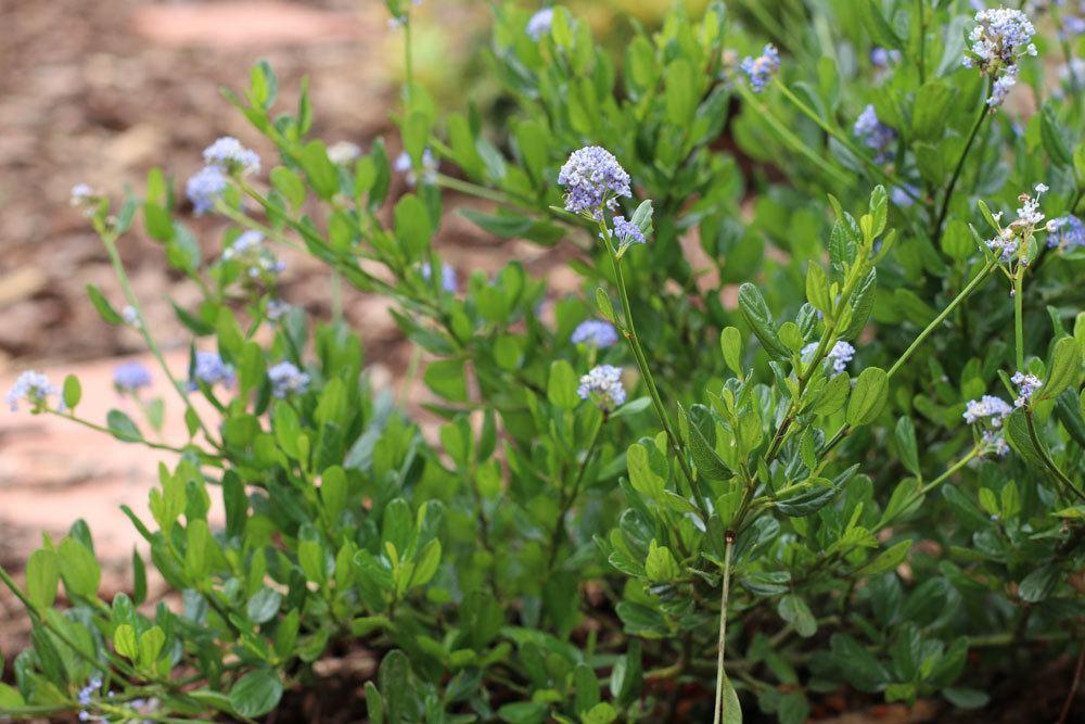 Säckelblume gehört zu den Kreuzdorngewächsen