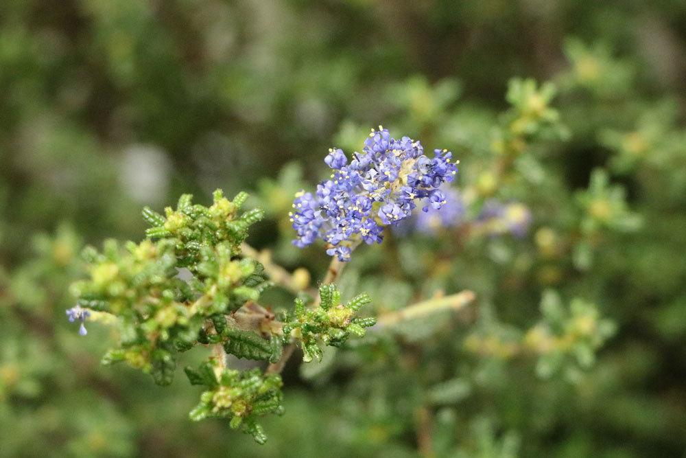 Säckelblume wird auch Kalifornischer Flieder genannt