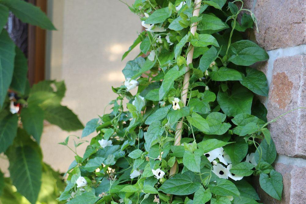 Schwarzäugige Susanne ist blühfreudig und besitzt essbare Blüten