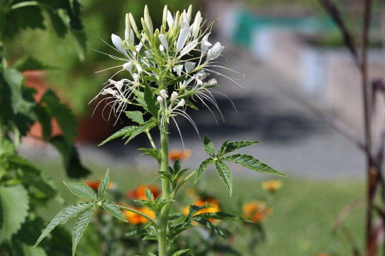 Spinnenblume mit weißen Blüten