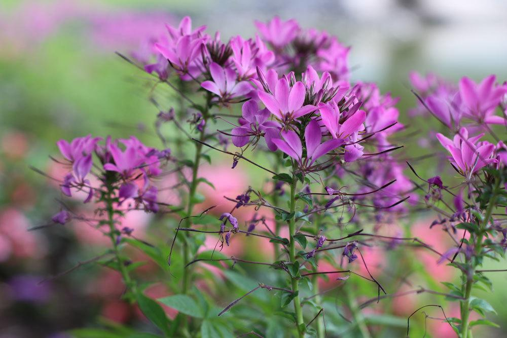 Spinnenblume, Cleome spinosa