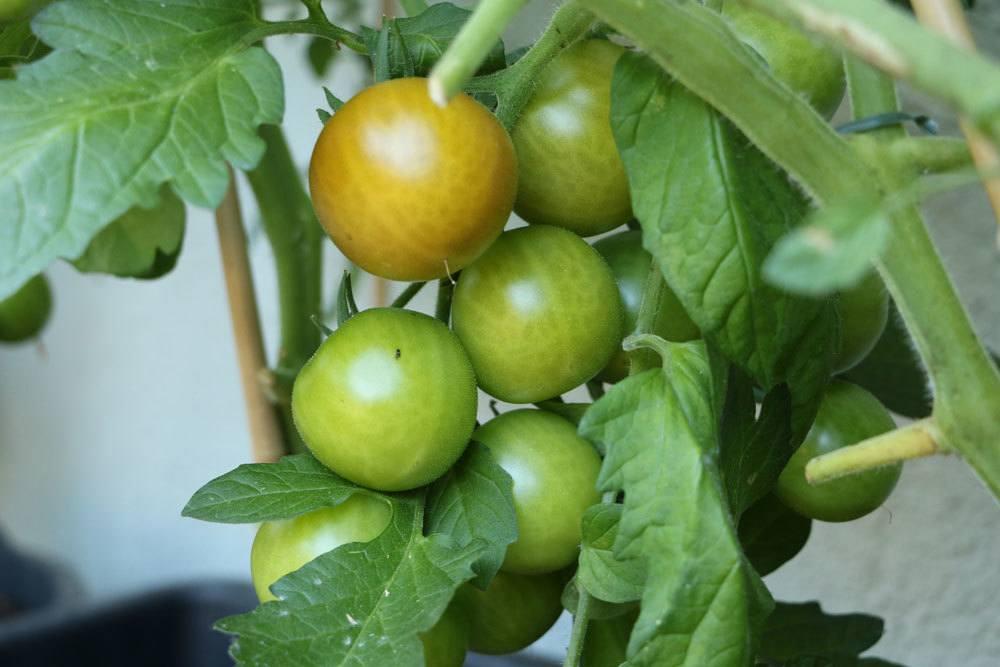 Tomaten reifen auch unreif geerntet nach
