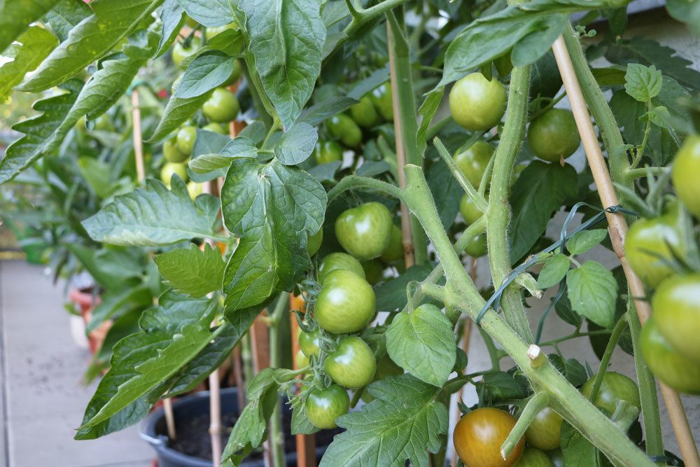 Tomatenpflanzen im Kübel