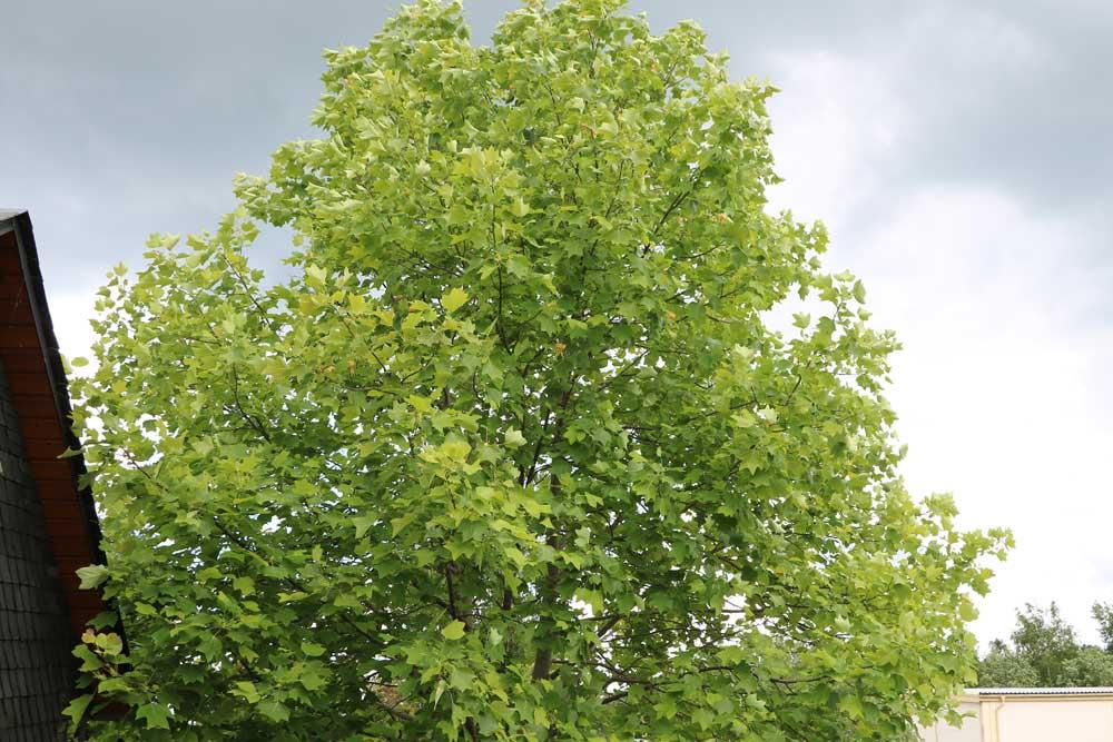 Tulpenbaum ist ein Magnoliengewächs