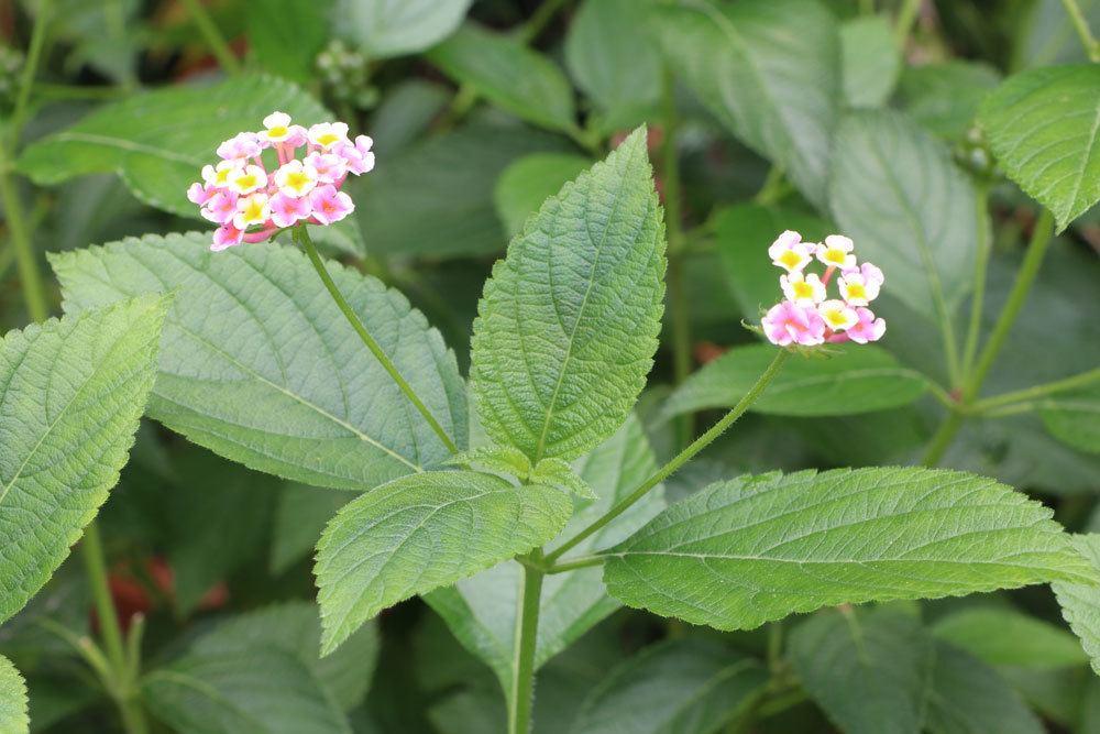 Wandelröschen, Lantana camara im Garten mit rosa-weißen Blüten