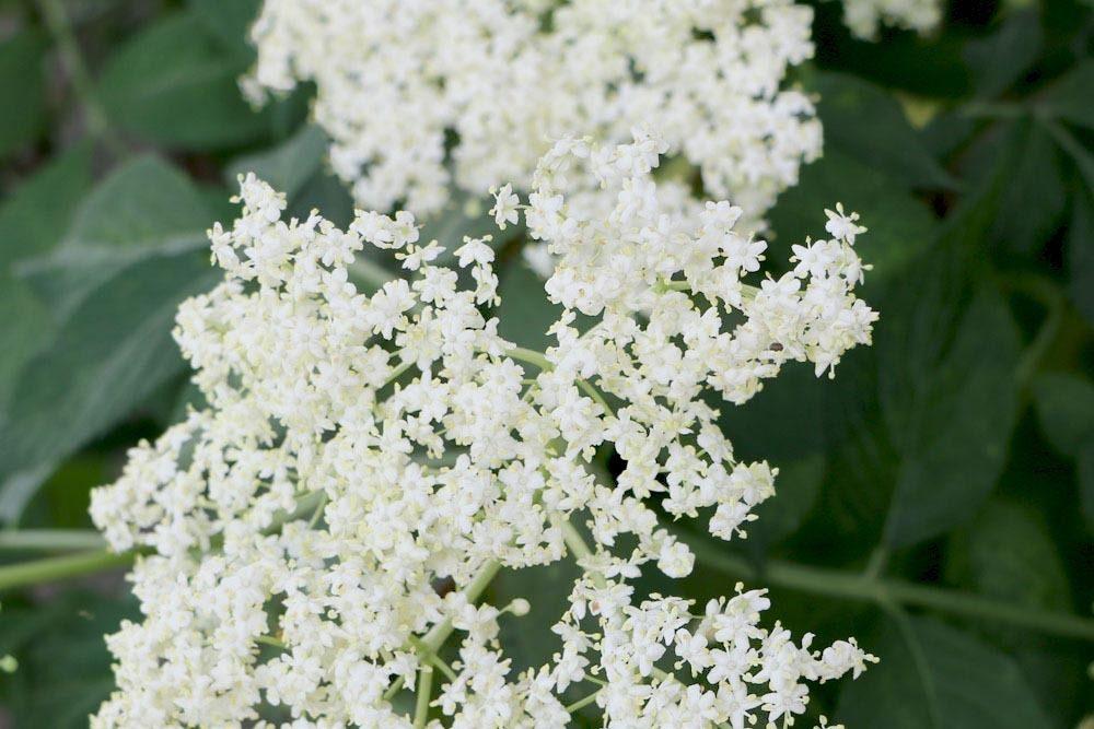 Schwarzer Holunder mit seinen vielen weißen Blüten