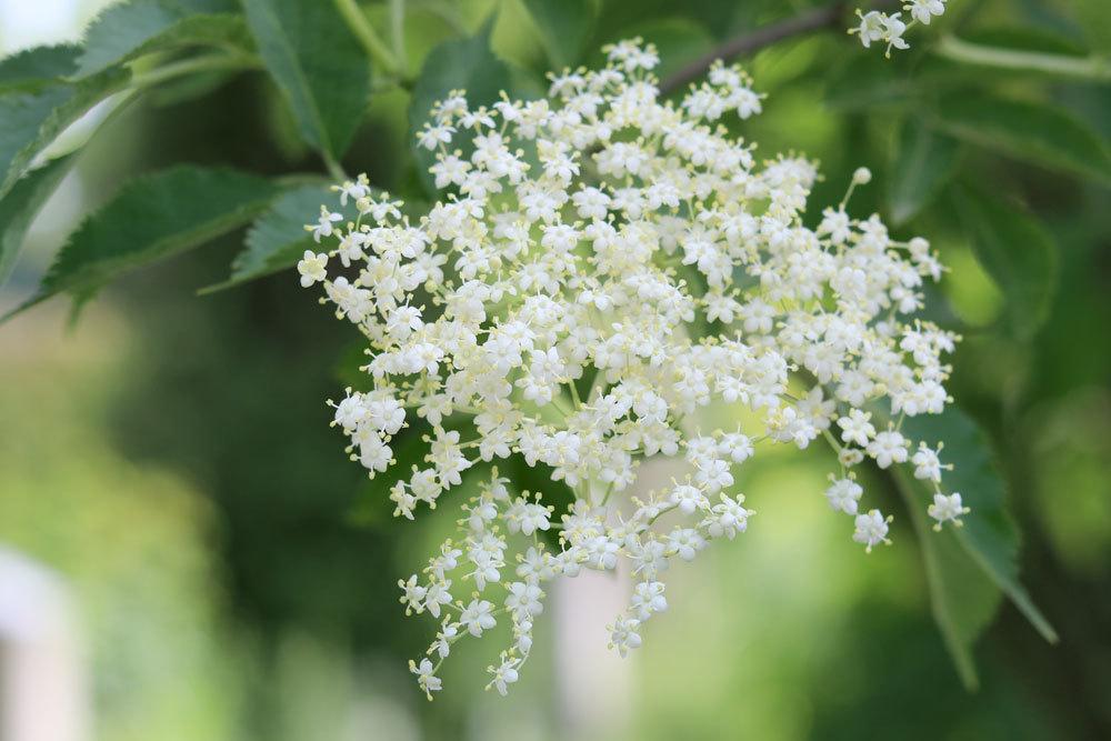 Schwarzer Holunder mit seinen zierlich weißen Blüten