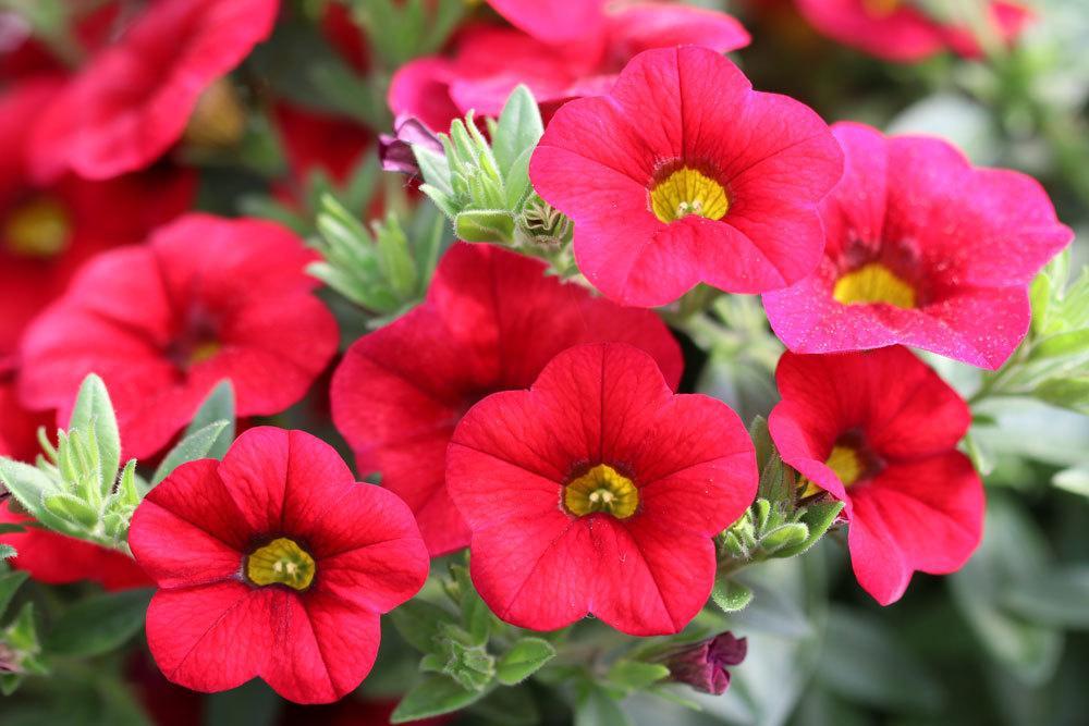 Zauberglöckchen, Calibrachoa mit farbenfrohen roten Blüten