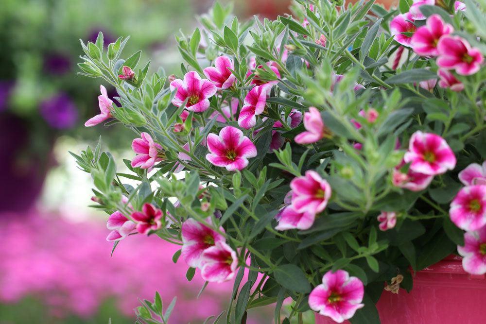 Zauberglöckchen, Mini-Petunie mit rosa-weißer Blütenfarbe