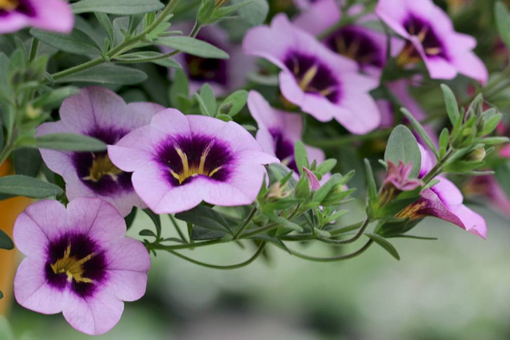 Calibrachoa mit lila Blütenfärbung