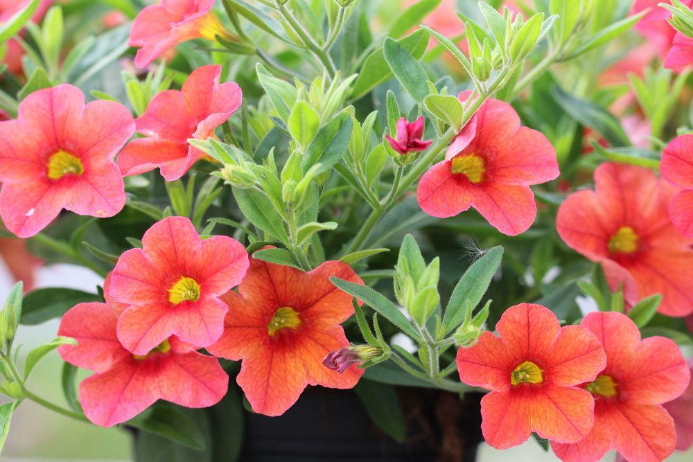 Pflegeleichte Balkonpflanzen 11 Schone Und Robuste Balkonblumen