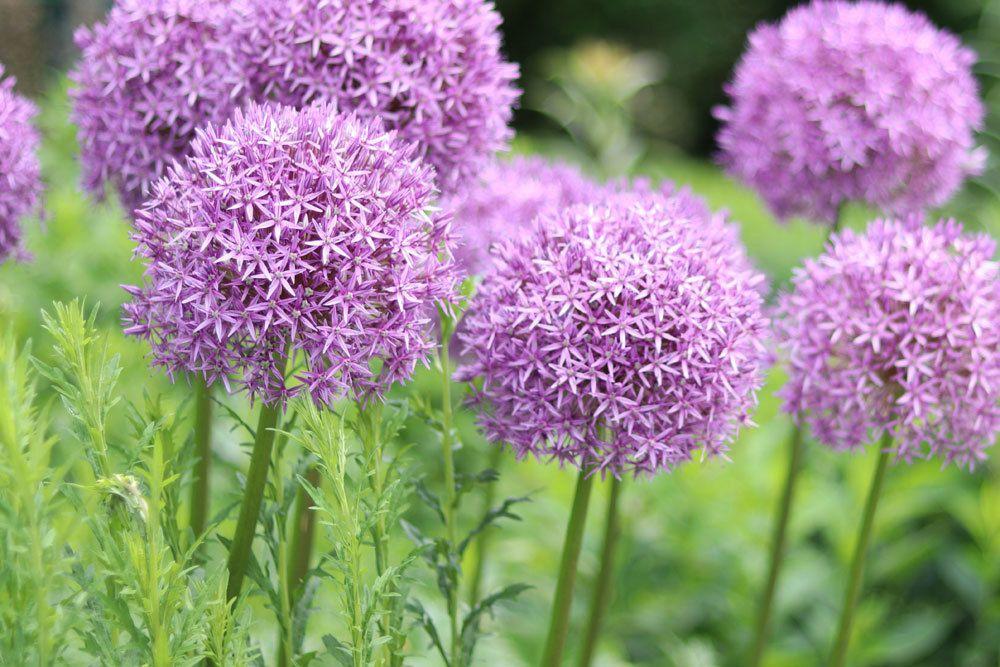Zierlauch, Allium mit violetten Blütenkugeln