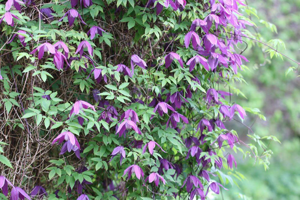 Alpen-Waldrebe lässt sich leicht im Garten kultivieren